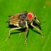 Κουρκουλιονίδες - Photo (c) Arnold Wijker, μερικά δικαιώματα διατηρούνται (CC BY-NC)