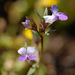 Collinsia sparsiflora - Photo (c) birdgal5, algunos derechos reservados (CC BY-NC-ND)
