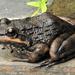 Amietia fuscigula - Photo (c) Colin Ralston, algunos derechos reservados (CC BY-NC)