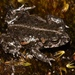 Tradouw Mountain Toadlet - Photo (c) Alex Rebelo, some rights reserved (CC BY-NC)