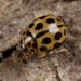 Tytthaspis sedecimpunctata - Photo (c) Nikolai Vladimirov, μερικά δικαιώματα διατηρούνται (CC BY-NC)