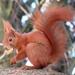 סנאי אדום - Photo (c) ceffx,  זכויות יוצרים חלקיות (CC BY-NC)