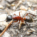 Camponotus ligniperda - Photo (c) Quentin Gaillard, some rights reserved (CC BY-NC)