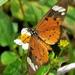 Acraea encedon - Photo (c) Peter Vos, osa oikeuksista pidätetään (CC BY-NC)
