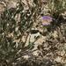 Xylorhiza wrightii - Photo (c) Reid Hardin, algunos derechos reservados (CC BY-NC)