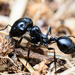 European Seed-harvesting Ant - Photo (c) Ewen Amossé, some rights reserved (CC BY-NC)