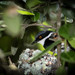 Forest Cape Batis - Photo (c) Callum Evans, some rights reserved (CC BY-NC)