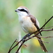 Brown Shrike - Photo (c) Tan Kok Hui, some rights reserved (CC BY-NC)