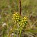 Carex flava - Photo (c) Hörður Kristinsson, algunos derechos reservados (CC BY-NC)
