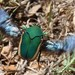 Green June Beetles - Photo (c) ilya, some rights reserved (CC BY-SA)