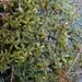 Sphagnum lindbergii - Photo (c) M. Goff, μερικά δικαιώματα διατηρούνται (CC BY-NC-SA)