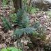 Polystichum neozelandicum - Photo (c) bbi2, μερικά δικαιώματα διατηρούνται (CC BY-NC), uploaded by bbi2