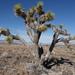 Yucca brevifolia - Photo (c) Jim Boone,  זכויות יוצרים חלקיות (CC BY-NC)
