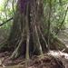 Laurelia novae-zelandiae - Photo (c) bbi2, algunos derechos reservados (CC BY-NC), uploaded by bbi2