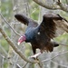 Eastern Turkey Vulture - Photo (c) edithst-martin, some rights reserved (CC BY-NC)