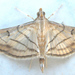 Trapeze Moth - Photo (c) Botswanabugs, some rights reserved (CC BY-NC)