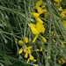 Floriferous Greenweed - Photo (c) Ana Molina, some rights reserved (CC BY-NC)