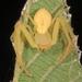 Araña Cangrejo Verde - Photo (c) Judy Gallagher, algunos derechos reservados (CC BY), uploaded by Judy Gallagher