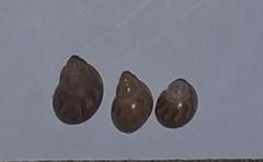 Tricolia pullus image