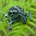 Chrysolopus spectabilis - Photo (c) storm, algunos derechos reservados (CC BY), uploaded by Storm Martin