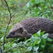 Common Hedgehog - Photo (c) Codrin Bucur, some rights reserved (CC BY)