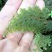 Hymenophyllum frankliniae - Photo (c) bbi2, algunos derechos reservados (CC BY-NC), uploaded by bbi2