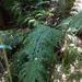 Asplenium × lucrosum - Photo (c) bbi2, alguns direitos reservados (CC BY-NC), uploaded by bbi2