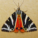 Jersey Tiger - Photo (c) richardjaybee, some rights reserved (CC BY-NC)