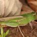 Chortophaga viridifasciata - Photo (c) Anthony Zukoff, μερικά δικαιώματα διατηρούνται (CC BY-NC-SA)