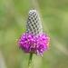 Dalea purpurea - Photo (c) Paul Tavares, algunos derechos reservados (CC BY-NC)
