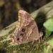 Lethe drypetis - Photo (c) Vinayaraj, algunos derechos reservados (CC BY-SA)
