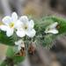 Flor Oculta - Photo (c) stonebird, algunos derechos reservados (CC BY-NC-SA)