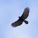 Águilas Crestadas - Photo (c) Erick Houli, algunos derechos reservados (CC BY)