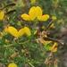 Adenocarpus telonensis - Photo (c) bioinigo, μερικά δικαιώματα διατηρούνται (CC BY-NC)