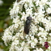 Psilota decessa - Photo (c) epitree, μερικά δικαιώματα διατηρούνται (CC BY-NC), uploaded by Maurice