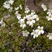 Ourisia vulcanica - Photo (c) nsingers, some rights reserved (CC BY-NC), uploaded by Nick Singers