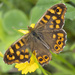 Speckled Wood - Photo (c) Avelino Vieira, some rights reserved (CC BY-NC)