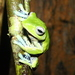 Norhayati's Flying Frog - Photo (c) Yingyod Lapwong, some rights reserved (CC BY-NC)