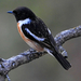 Stonechats and Bushchats - Photo (c) supergan, some rights reserved (CC BY-NC)