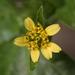 Synedrella nodiflora - Photo (c) portioid, algunos derechos reservados (CC BY-SA)
