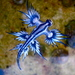 Glaucus atlanticus - Photo (c) Sylke Rohrlach,  זכויות יוצרים חלקיות (CC BY-SA)