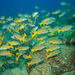 Blue-and-gold Snapper - Photo (c) LASZLO ILYES, some rights reserved (CC BY)