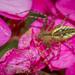 Peucetia rubrolineata - Photo (c) Felix Fleck, μερικά δικαιώματα διατηρούνται (CC BY-NC)