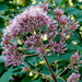 Eutrochium fistulosum - Photo (c) James Gaither, algunos derechos reservados (CC BY-NC-ND)