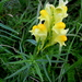 Common Toadflax - Photo (c) Arnstein Rønning, some rights reserved (CC BY-SA)
