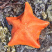 Bat Star - Photo (c) Don Loarie, some rights reserved (CC BY)