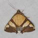 Eulepidotis julianata - Photo (c) Arnold Wijker, osa oikeuksista pidätetään (CC BY-NC)