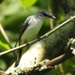 Ashy Minivet - Photo (c) anukma, some rights reserved (CC BY)