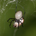 Madagascar Hermit Spider - Photo (c) Greg Lasley, some rights reserved (CC BY-NC)