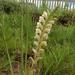 Gladiolus sericeovillosus - Photo ללא זכויות יוצרים